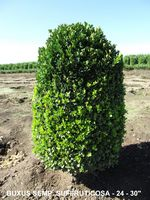 BUXUS Semp and  SUFFRUTICOSA